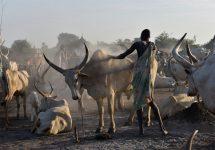 Südsudan Mundari Cattle Camp Einaschen