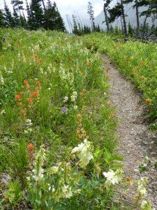Wiesenblumen im Glacier National Park