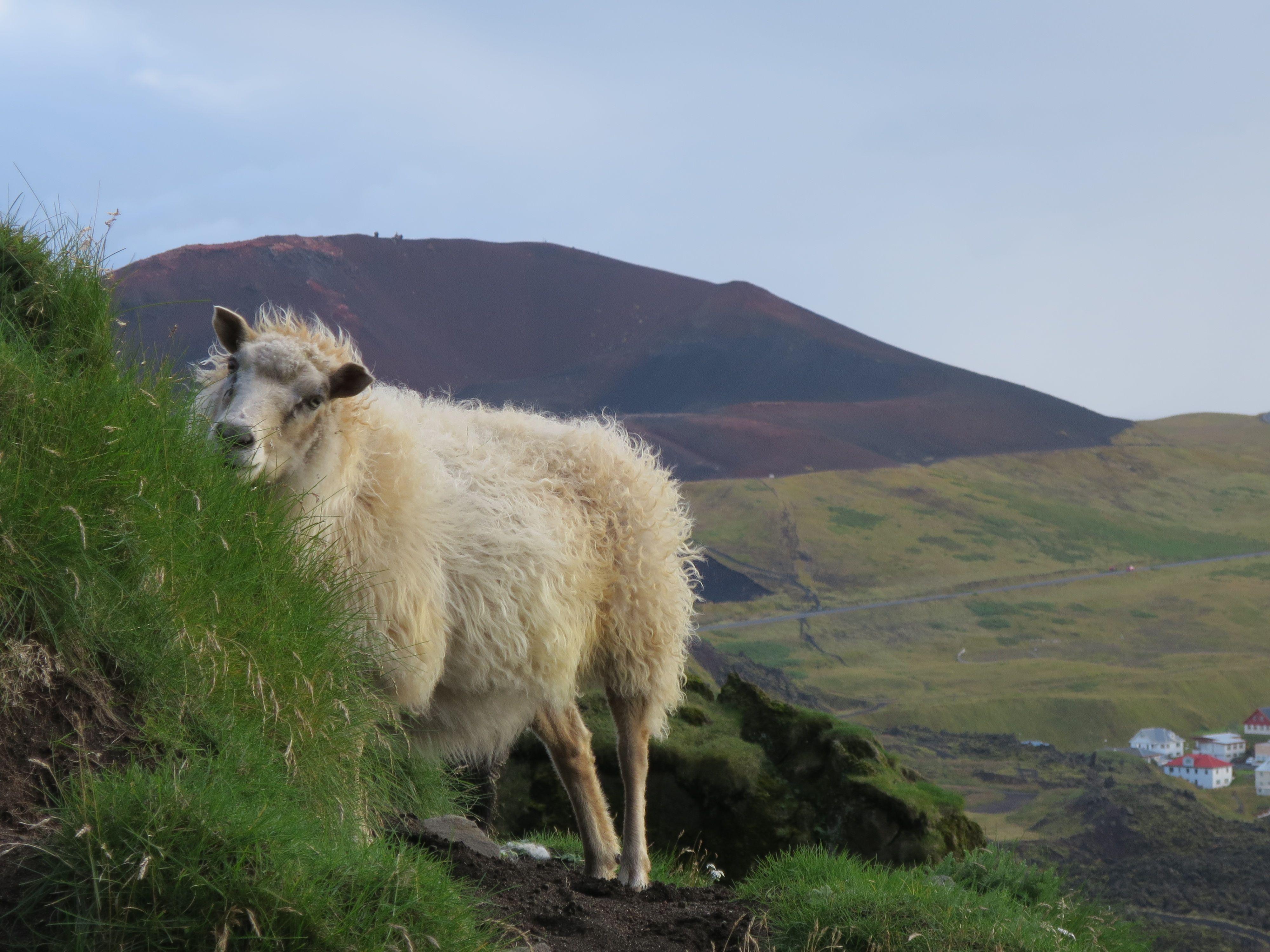 Fauna und Flora Islands - Schaf