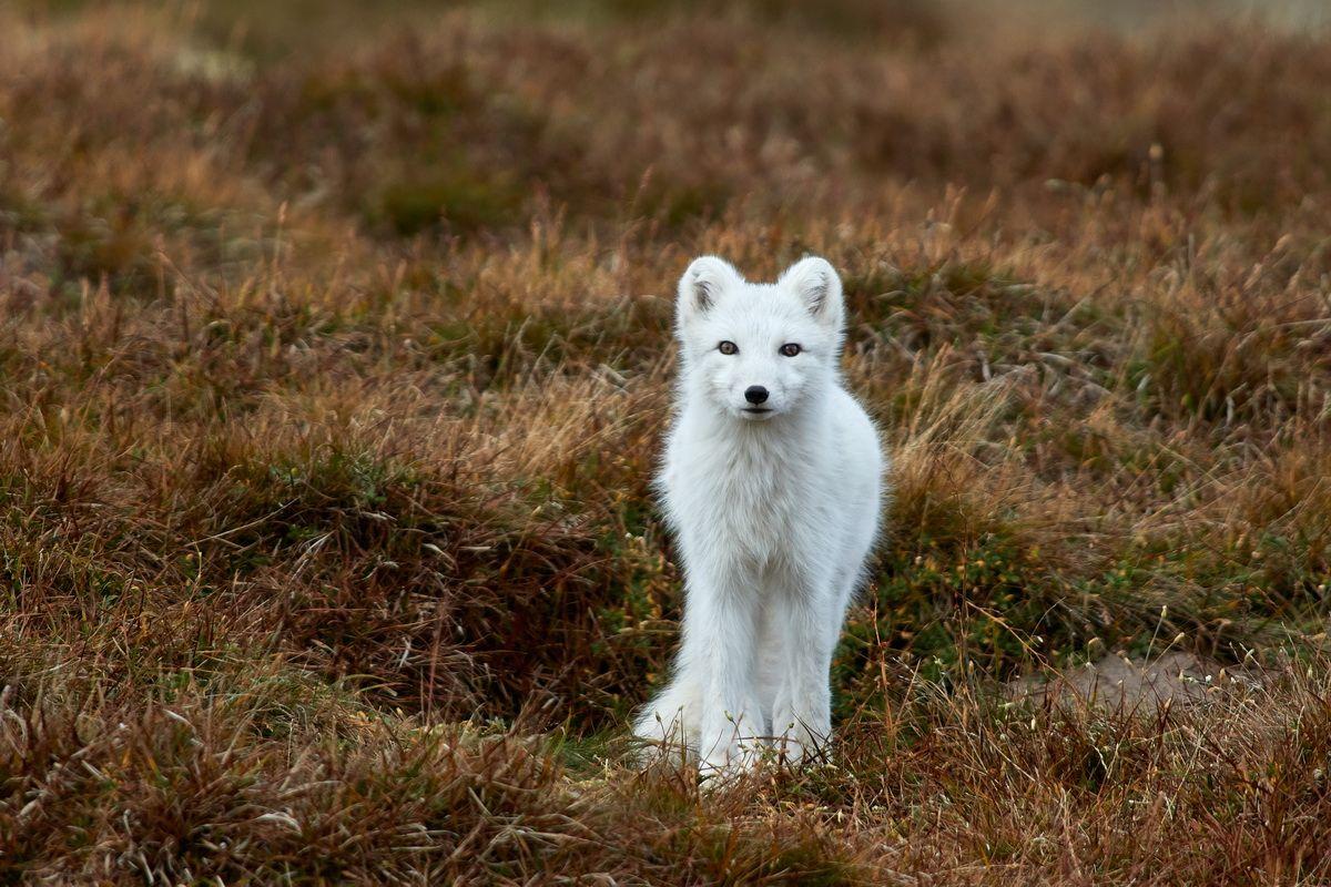Polarfuchs Naturfotografie Dovrefjell