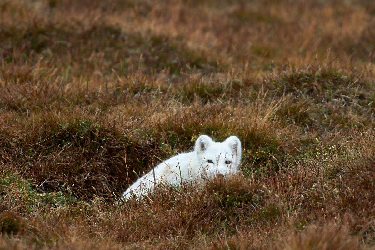 Polarfuchs im Dovrefjell