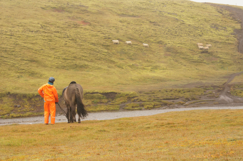 Schafe zwischen Alftavatn und Emstrur