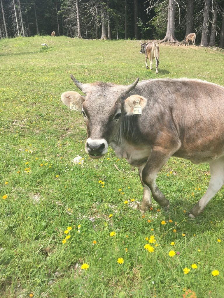 Tierische Begegnungen am Weg zum Zwölferhorn Gipfel