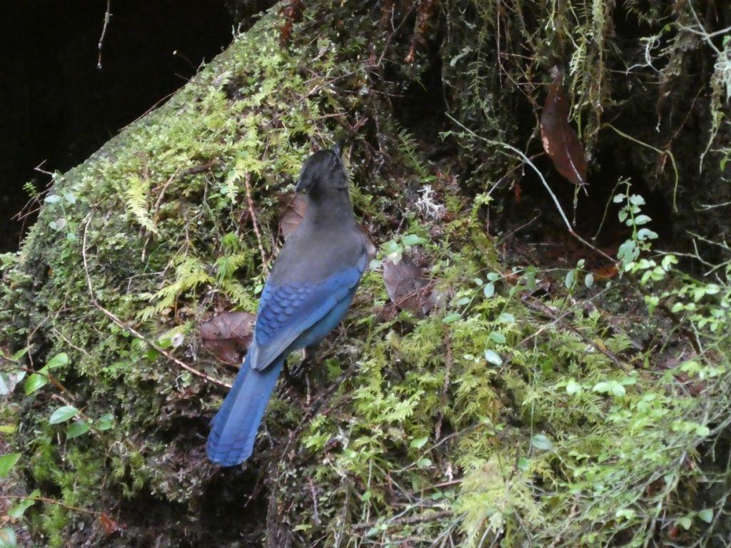 Vogel mit blauem Federkleid P1030469