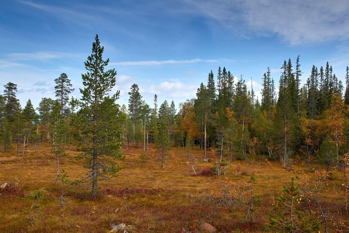 Wald im Fulufjällets Nationalpark