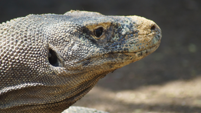 Kopf eines Komodo Warans