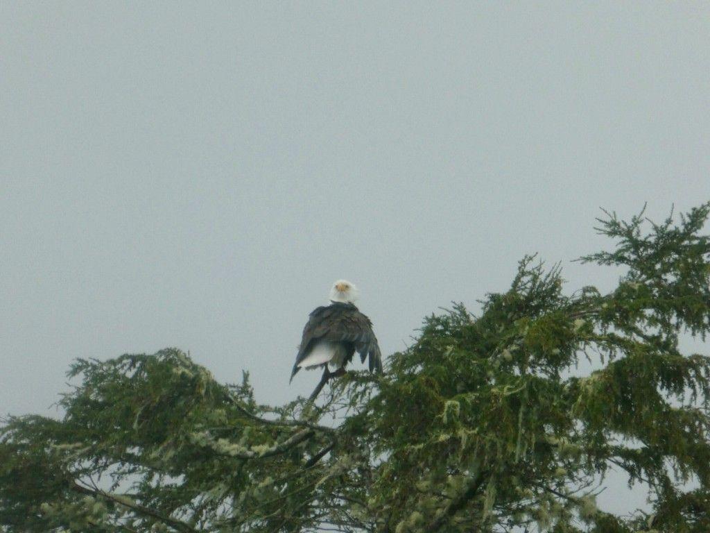 Weißkopfseeadler P1030529