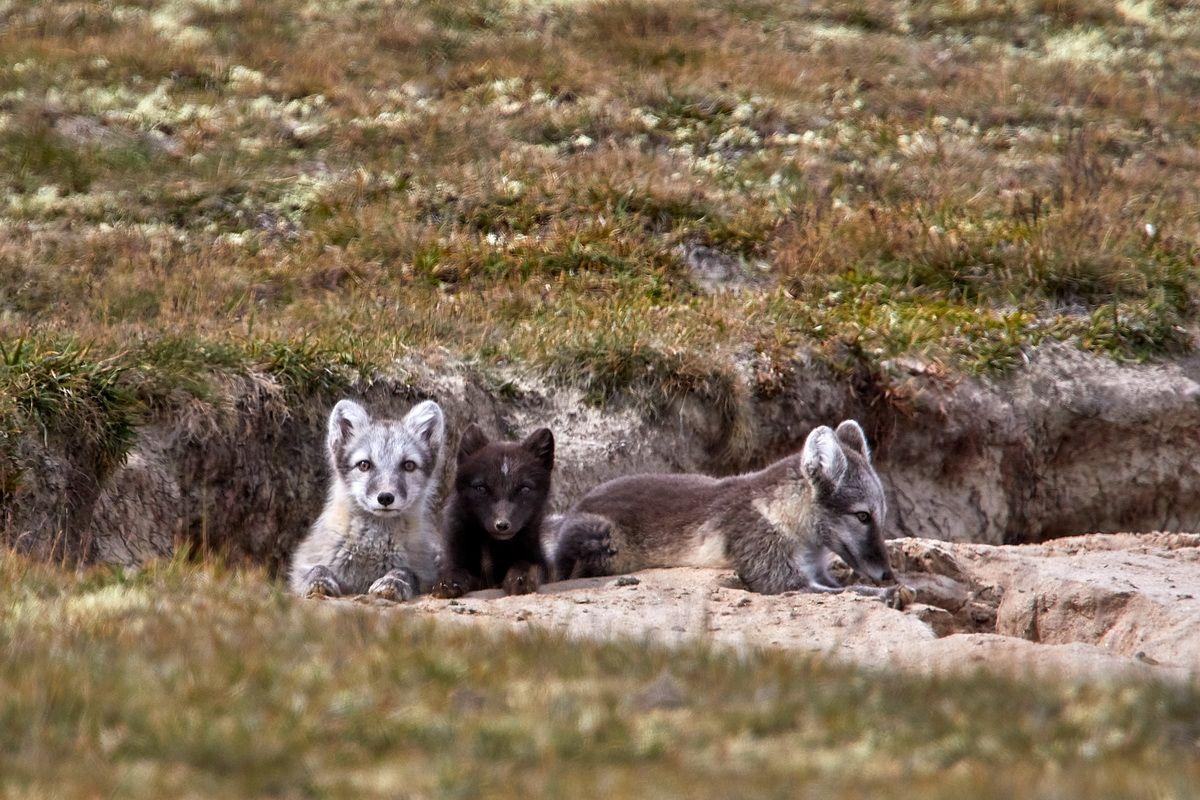 Welpen des Polarfuchses
